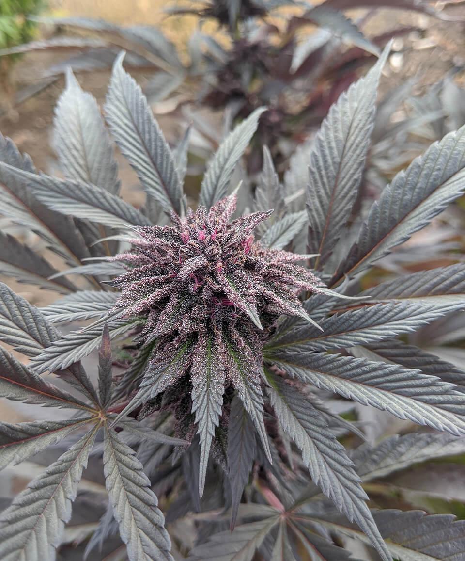 WT-Industries-Cannabis